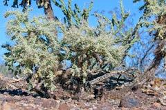 De cactus van Cholla stock foto's