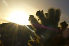 De cactus van Cholla bij magisch uur Stock Fotografie