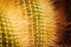 De cactus van de citroenbal met glanzende gele doornen Notocactus Sluit omhoog royalty-vrije stock foto