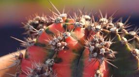 De cactus van close-upgymnocalycium Stock Afbeeldingen