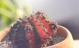 De cactus van close-upgymnocalycium Stock Fotografie
