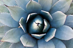 De Cactus van de agave Royalty-vrije Stock Foto
