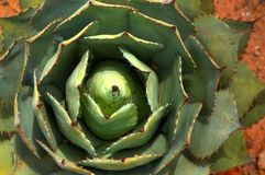 De cactus van de agave Stock Foto