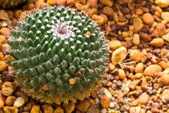 De Cactus van de bal Stock Foto