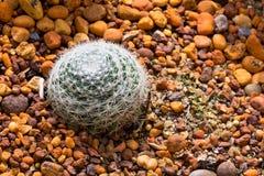 De Cactus van de Bal van de spin Royalty-vrije Stock Afbeeldingen