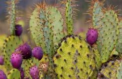 De cactus van de bever Stock Foto's