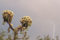 De Cactus van de bliksem Royalty-vrije Stock Fotografie