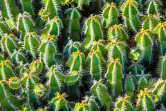 De cactus van de close-up Royalty-vrije Stock Afbeelding
