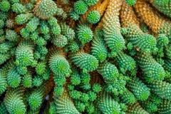 De cactus van de close-up Royalty-vrije Stock Afbeeldingen