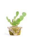 De Cactus van de Oren van het konijntje (Vijgencactus Microdasys) in Pot royalty-vrije stock afbeeldingen