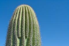 De cactus van de sequoia stock foto's