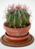 De Cactus van de vlinder Stock Afbeeldingen