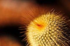 De cactus van de vossestaart of van de vishaak met oranje stekels Royalty-vrije Stock Afbeelding