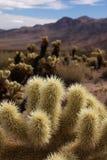 De cactus van de woestijn Royalty-vrije Stock Afbeeldingen