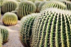 De Cactus van de woestijn Stock Afbeelding