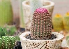 De cactus van Echinocereusrigidissimus stock foto