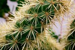 De cactus van Ehinopsis Stock Foto's