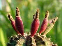 De cactus van Gymnocalyciummihanovichii kan zo veel rood fruit kweken stock afbeelding