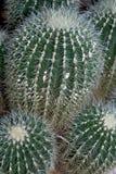 De Cactus van het vat Royalty-vrije Stock Fotografie