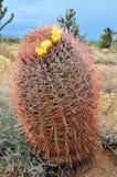 De Cactus van het vat royalty-vrije stock foto
