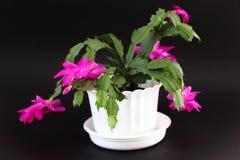 De cactus van Kerstmis Stock Foto