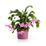 De cactus van Kerstmis Stock Afbeelding