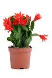 De cactus van Kerstmis. Schlumbergera. Stock Afbeelding