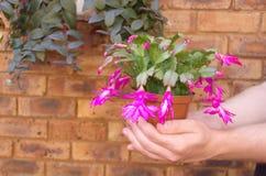 De cactus van Kerstmis - Shlumbergera in de handen Stock Foto's