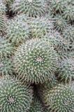 De cactus van Mammillaria Stock Afbeeldingen