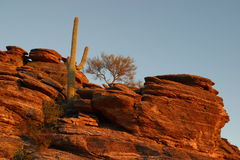 De Cactus van Saguaro Stock Afbeeldingen