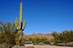De Cactus van Saguaro stock fotografie