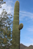 De Cactus van Saguaro in Arizona Royalty-vrije Stock Foto