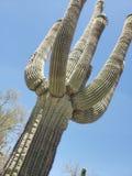 De Cactus van Saguaro - Ineengestrengelde Wapens stock fotografie