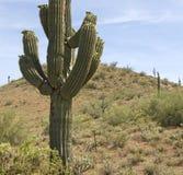 De Cactus van Saguaro van de Woestijn van Arizona stock fotografie