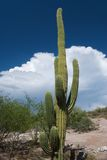 De Cactus van Sahuaro Stock Afbeeldingen