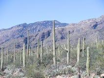 De Cactus van Sahuaro Stock Foto's