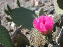 De cactus van vijgencactusbasilaris in mojavewoestijn royalty-vrije stock afbeeldingen