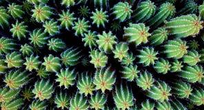 De cactus van de zeesterwoestijn stock afbeelding