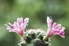 De cactusbloem van Mammillariaschumannii Royalty-vrije Stock Foto