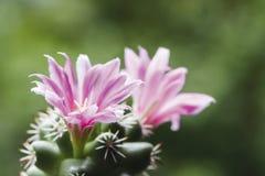 De cactusbloem van Mammillariaschumannii Stock Afbeelding