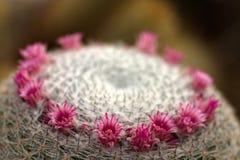 De cactusbloemen van Mammilaria Stock Afbeelding