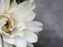 De cactusbloemen zijn witte ondoorzichtig royalty-vrije stock foto's
