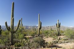 De cactusbos van Saguaro Royalty-vrije Stock Foto's
