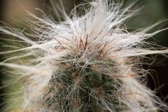 De cactusgroei van lange doornen en bakkebaarden royalty-vrije stock afbeelding