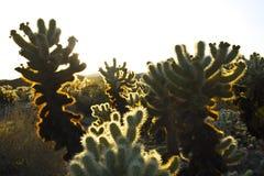 De cactussen van Cholla bij magisch uur Royalty-vrije Stock Foto