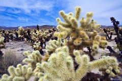 De Cactussen van Chollo in Californië Royalty-vrije Stock Foto's