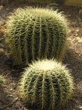 De cactussen van de bal Stock Afbeeldingen
