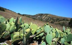 De Cactussen van de Canion van het kalksteen Royalty-vrije Stock Foto