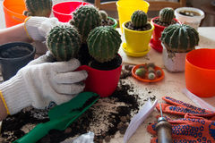 De cactussen van de handtransplantatie in kleurrijke potten Royalty-vrije Stock Fotografie
