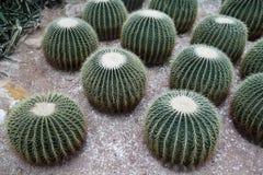 De Cactussen van de Vorm van de cirkel Stock Foto's